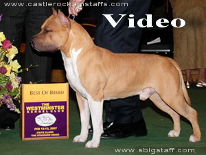 amstaff CH_CASTLE_ROCKS_CA_BLU_STAR_6