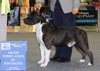 Image result for american staffy conformation